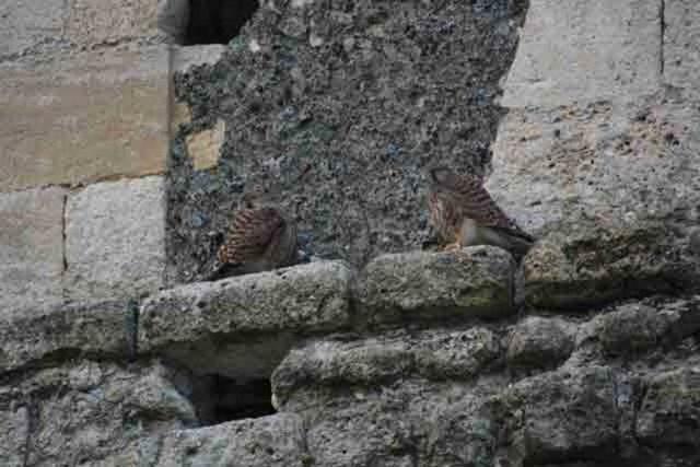 Jeunes faucons nés dans le clocher en 2008